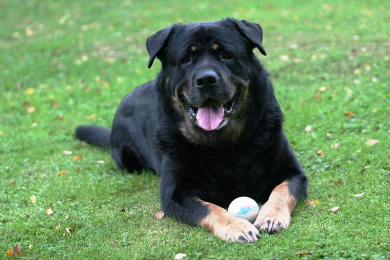 כלב קאנה קורסו