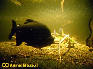 דגים טורפים לאקווריום