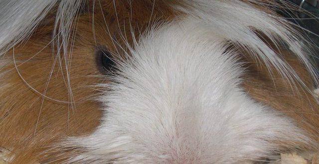 שרקן – חזיר ים