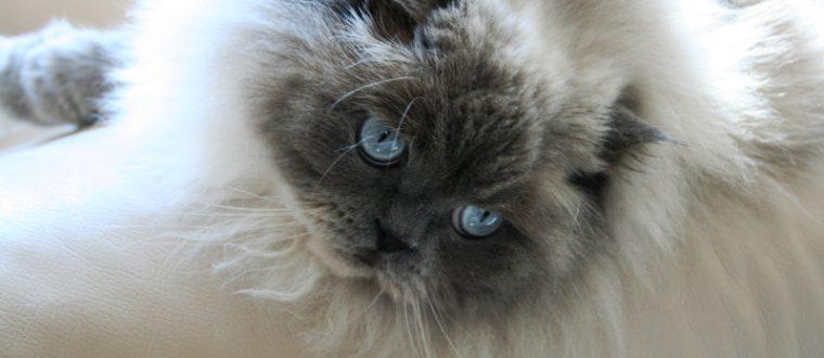 חתולים פרסיים