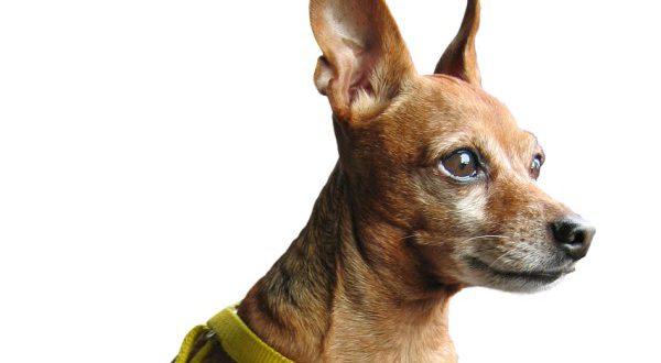 כלב פינצ'ר