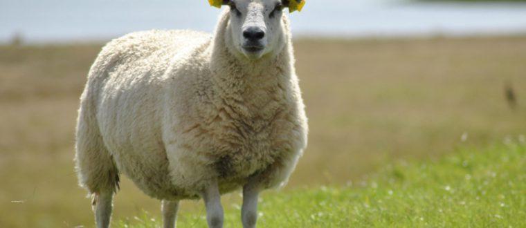 סוגי כבשים