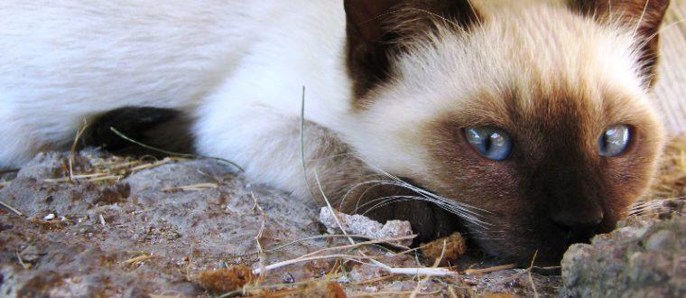 חתולים סיאמיים