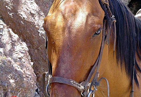 גידול סוסים
