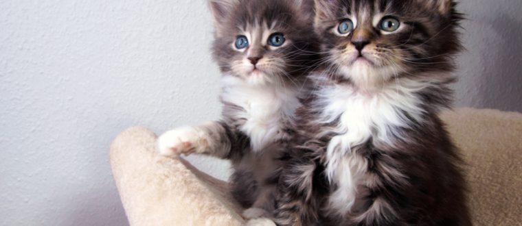 חתולים סיבירים