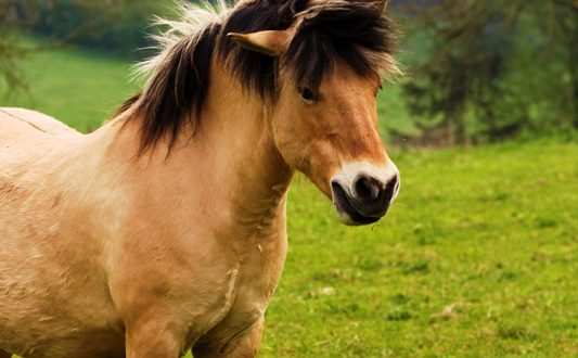 סוס פוני