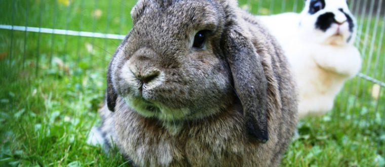 ארנב שמוט אוזניים